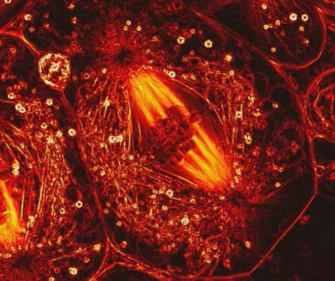 meiosis 680x571 meiosis