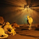 Holy Cow 150x150 Nature Photos