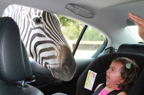 What happens if zebra boos you?